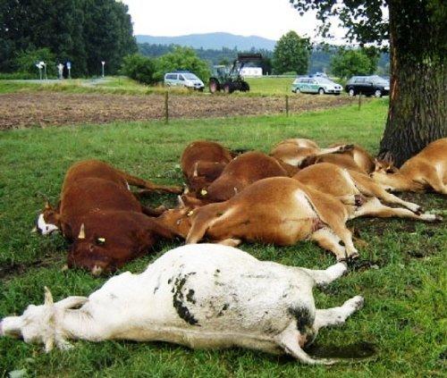 vacas-fritas-08