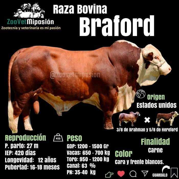Raza bovina Braford