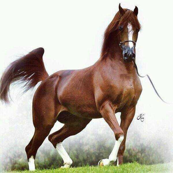 🐎🐴⭐ Curiosidades de los caballos Árabe 🐎🐴⭐ Razas d Caballos