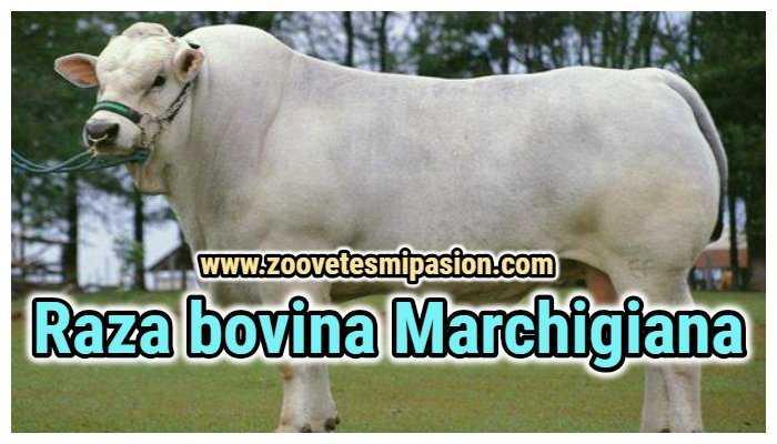 Raza bovina Marchigiana