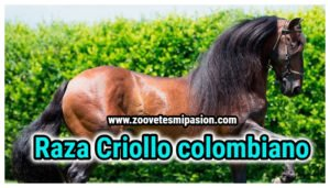 Raza de Caballo Criollo colombiano.