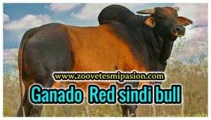 Raza de Ganado Vacuno Red sindi bull