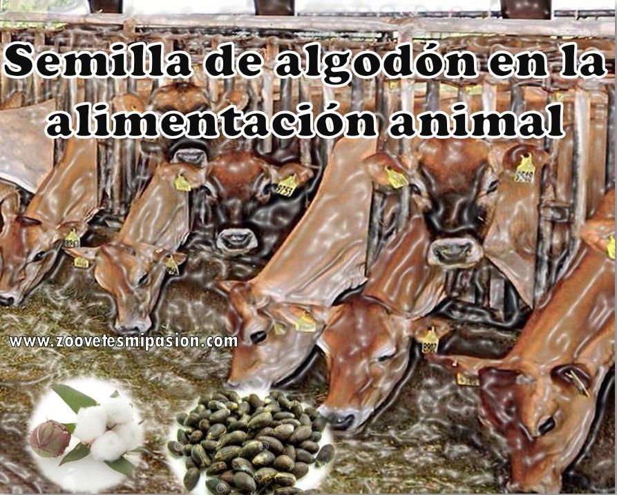 https://zoovetesmipasion.com/nutricion-animal/13-semilla-de-algodon-en-la-alimentacion-animal/