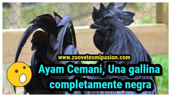 gallinas Ayam Cemani, la gallina negra