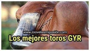 Los mejores toros GYR