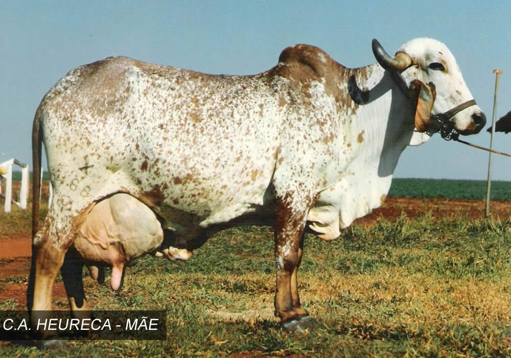 vaca Heureca, mama de Sansao