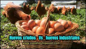 huevos criollos y huevos purinas