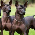 raza perro xoloitzcuintle