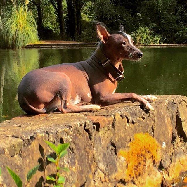 raza-canino- xoloitzcuintle