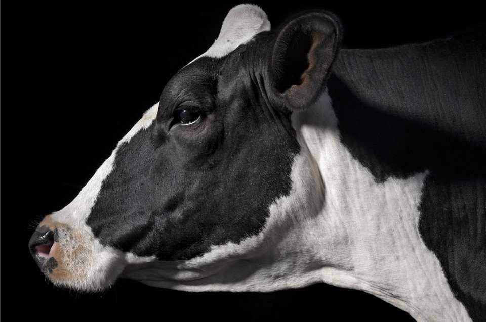 Vacas holtein. ganaderia, lcheria
