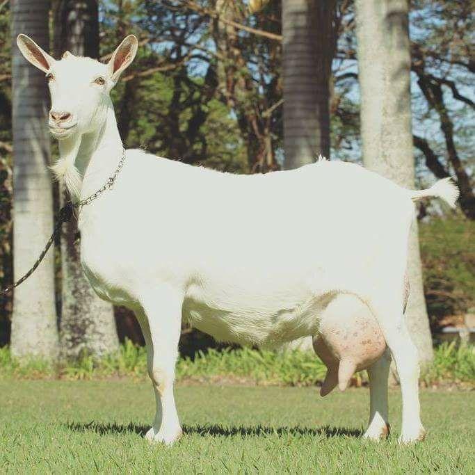 gestacion ciclo estral de las cabras