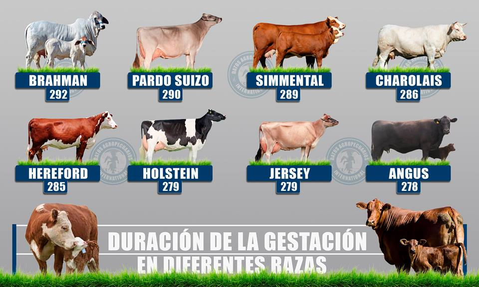 Gestación de la vaca segun la raza