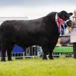 Raza bovina Aberdeen Angus
