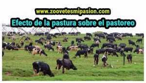 Efecto de la pastura sobre el pastoreo