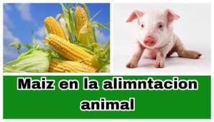 Maiz para alimentación de animales
