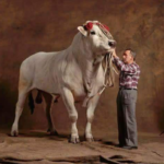 Raza de ganado chianina