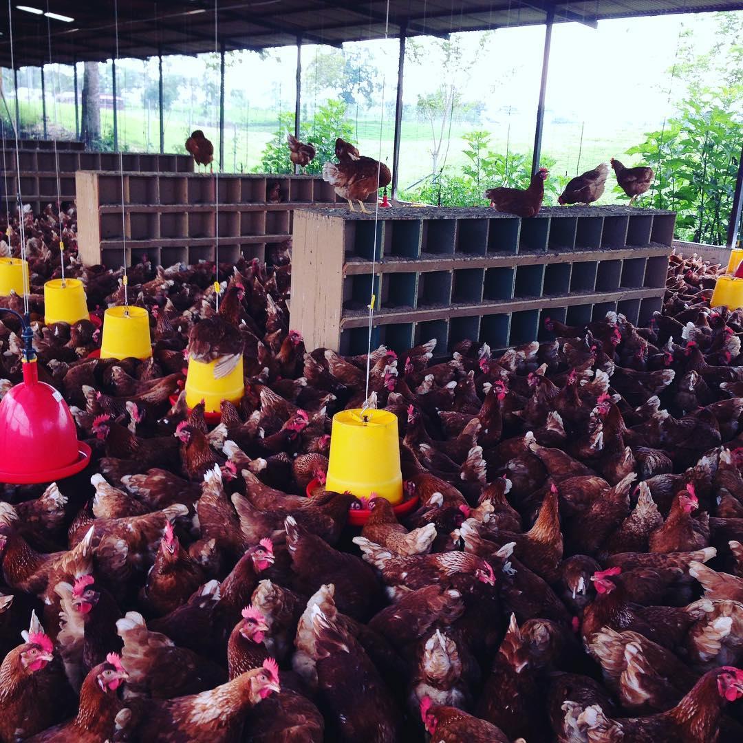 perchas en gallinas ponedoras