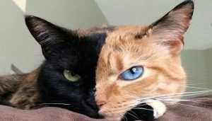 Que es el Quimerismo en gatos