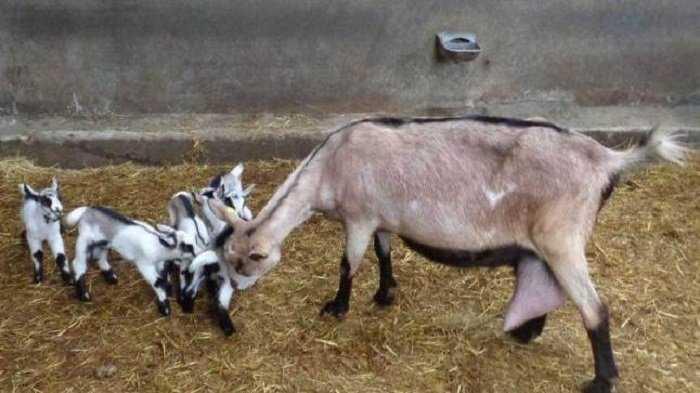 Reproducción de la cabra