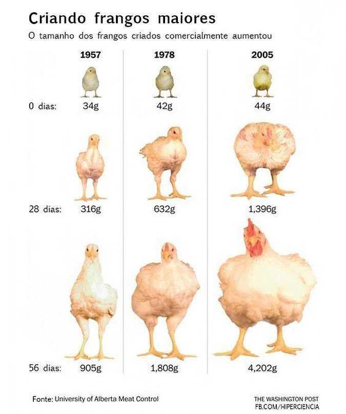 Hormonas en los pollos de engorde