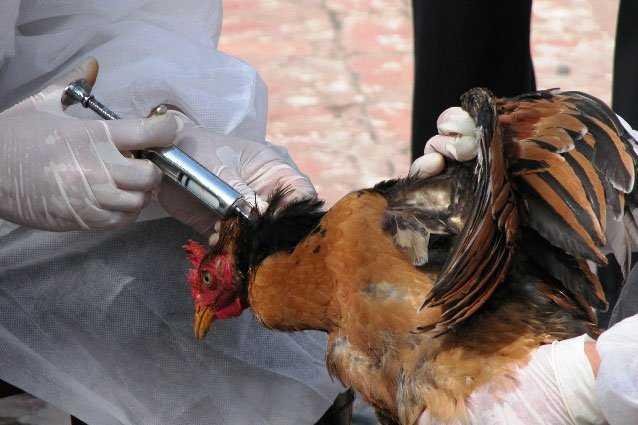 Programa de vacunación en gallinas