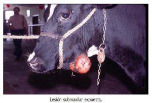 Actinomicosis en bovinos