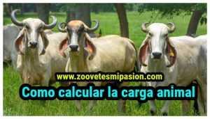 Como calcular la carga animal