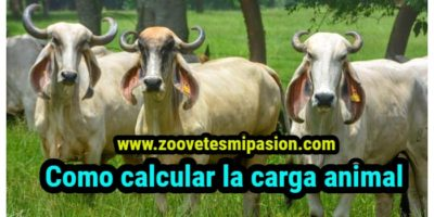 Como calcular la carga animal
