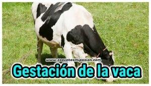 Gestación de la vaca