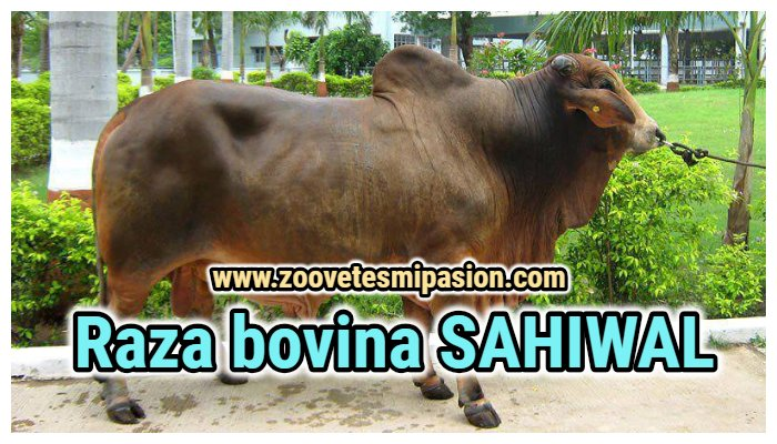 Raza bovina SAHIWAL