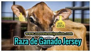 Raza de bovino Jersey