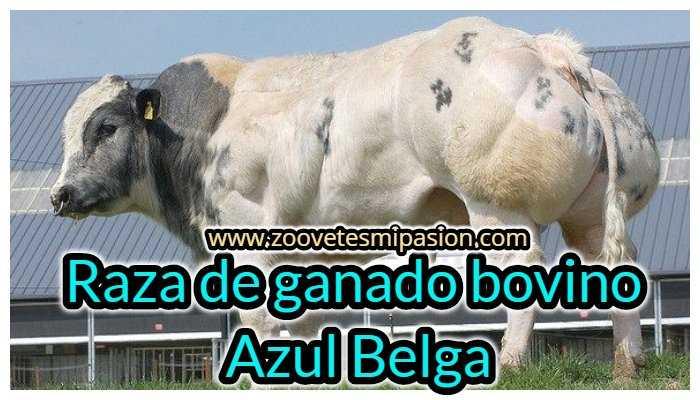 Raza de ganado bovino Azul Belga