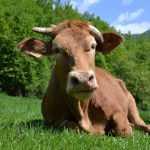 La Anaplasmosis bovina