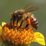 El polen de abejas