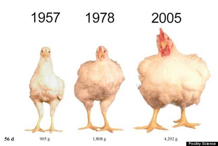 Hormonas en pollos de engorde