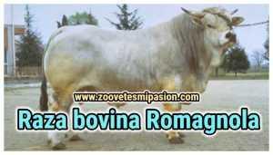 Raza bovina Romagnola