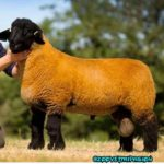 la raza ovina SUFFOLK
