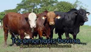 Tricomoniasis bovina