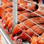 calcio en gallinas ponedoras