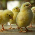 Pasos para el recibimiento de pollitos