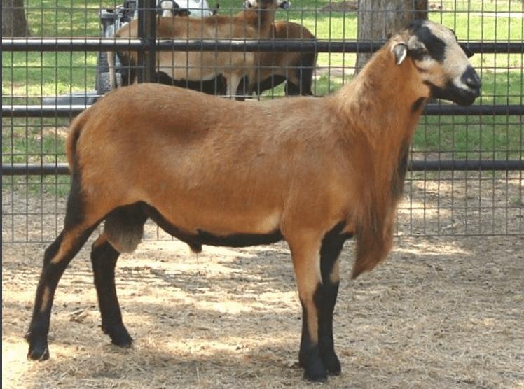 carneros para carne