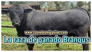 La raza de ganado Brangus
