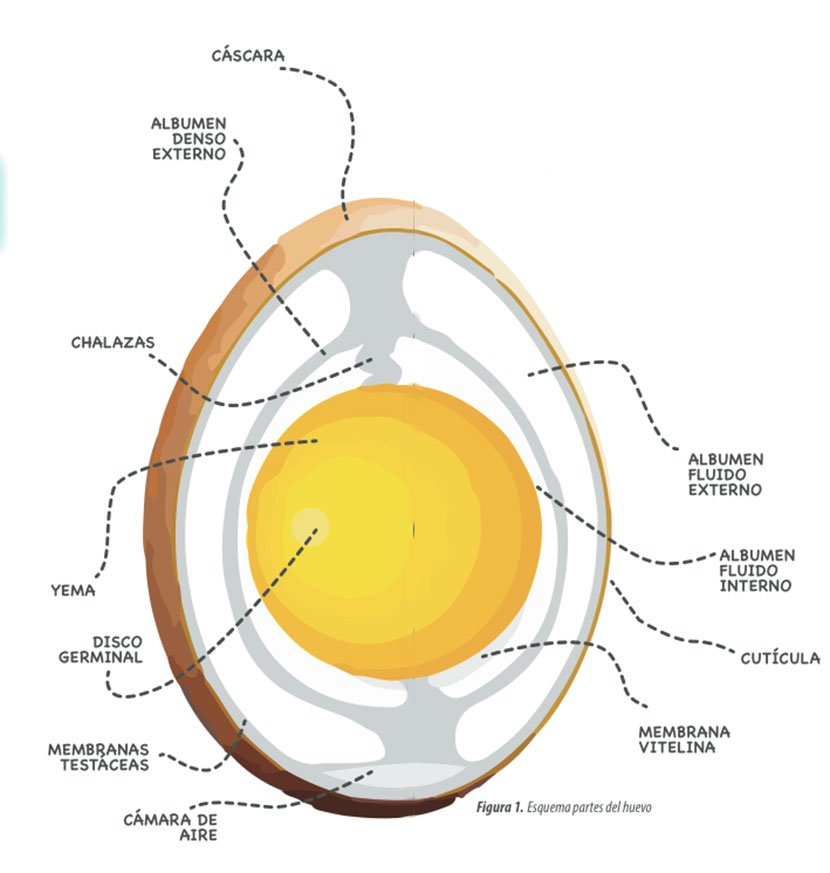Partes del Huevo de gallinas