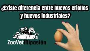 ¿Existe diferencia entre huevos criollos y huevos industriales?