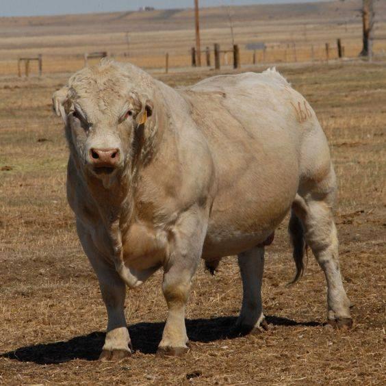 Ganado bovino charolais