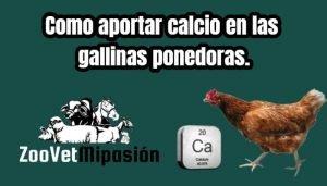 Como aportar calcio en las gallinas ponedoras.