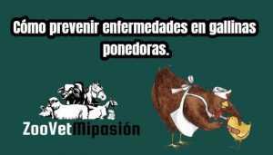 Cómo prevenir enfermedades en gallinas ponedoras.