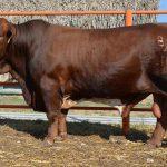 Raza de ganado bovina Beefmaster