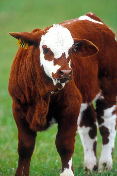 raza Beefmaster.