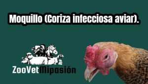 Moquillo (Coriza infecciosa aviar).